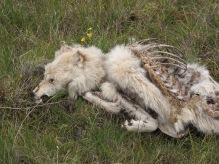 Carcass of an alpha female wolf